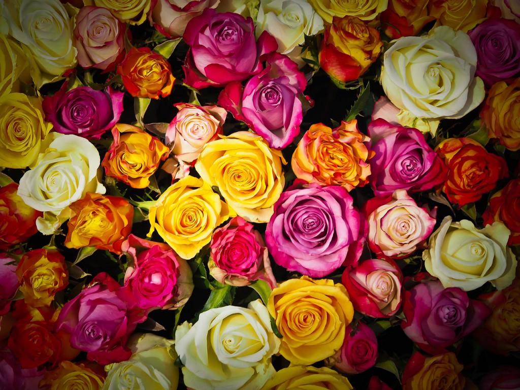 Viele Rosen in bunten Farben